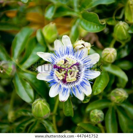Passion flower in bloom. Passiflora. Flower-buds around.  - stock photo
