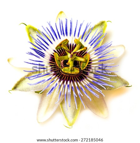 Passion  flower - passiflora - stock photo