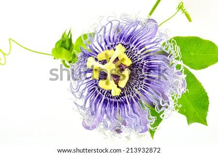 Passion flowers or passion vines (Passiflora edulis)  - stock photo