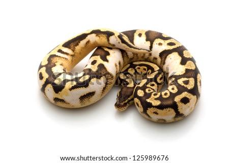 pastel calico ball python (Python regius) isolated on black background. - stock photo