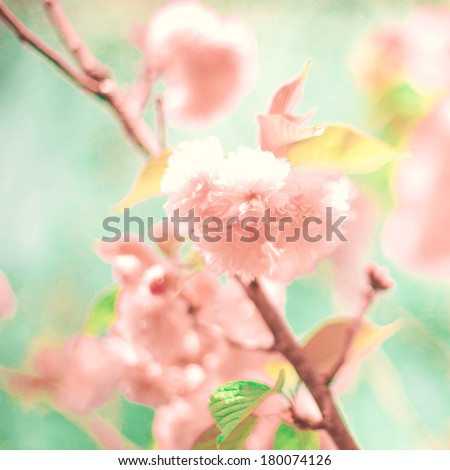 Pastel Cherry Blossoms  - stock photo