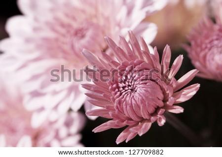 Pastel chrysanthemums in bloom. - stock photo