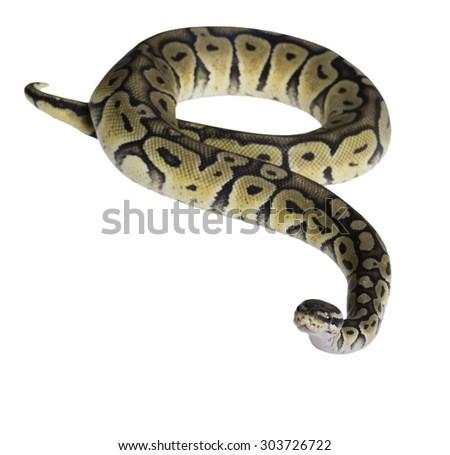 pastel citrus calico ball python Python regius isolated on white background. - stock photo