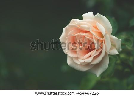 Pastel orange blooming rose close up, dark green background, matte faded vintage effect - stock photo