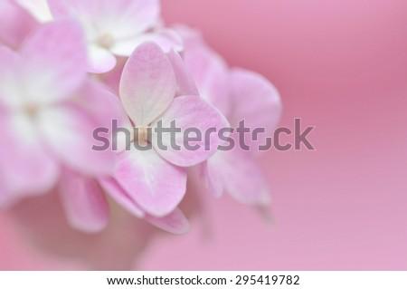 Pastel Pink Hydrangea - stock photo