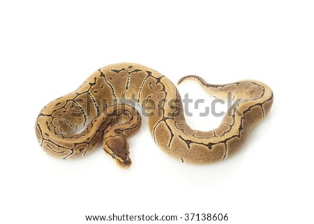 pastel pinstripe ball python (Python regius) isolated on white background.