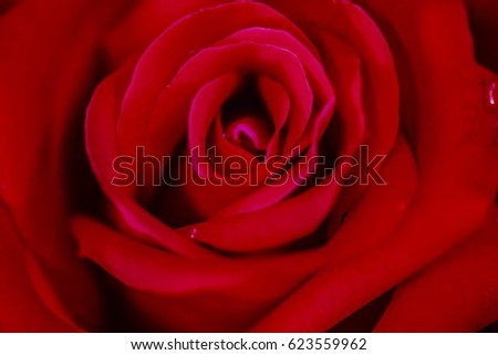 Pastel roses in different shades of red for important days