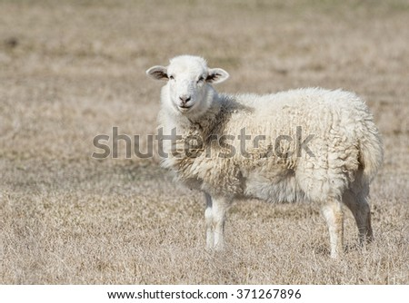 Pastoral Scene with Sheep - stock photo