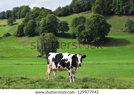 Pastorale in Provence, France. Green meadow with lush grass and grazing cows - stock photo