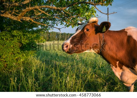 Pasture and cow grazing in fresh green meadows between trees in Latvian countryside