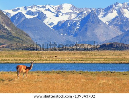 Patagonia. Harmonious landscape - yellow field, blue lake and snow-capped mountains. On the banks of guanacos grazing - stock photo