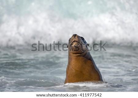 patagonia sea lion portrait seal on the beach on white foam ocean background - stock photo