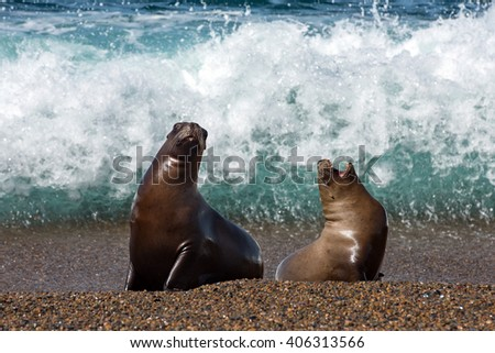 patagonia sea lion portrait seal on the beach while looking at you  - stock photo