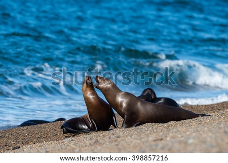 patagonia sea lion portrait seal while fighting on the beach - stock photo