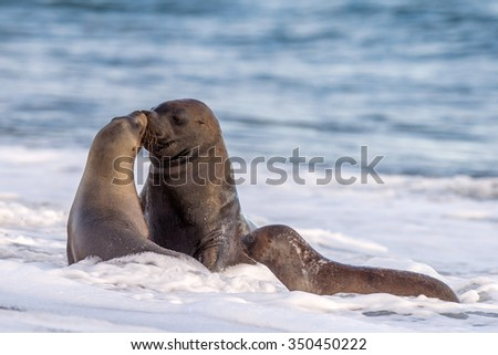 patagonia sea lion portrait seal while kissing on the beach