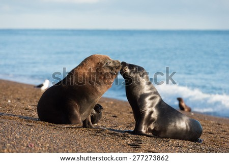 patagonia sea lion seal on the beach at sunset - stock photo