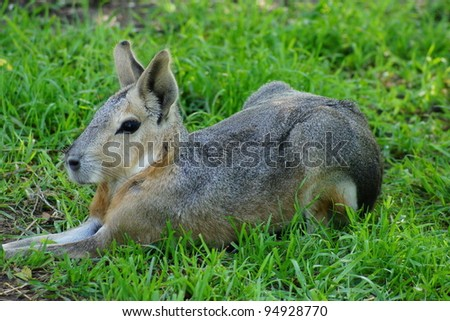 Patagonian Cavy - stock photo