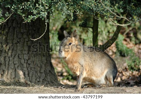 Patagonian cavy (Dolichotis patagonica). Gnawing mammals (Rodentia) - stock photo