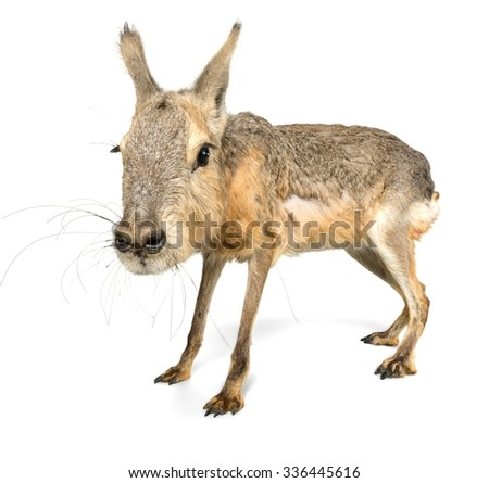 Patagonian Cavy - Isolated
