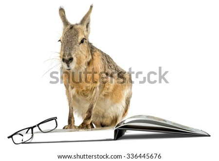 Patagonian Cavy with Book and Glasses - Isolated