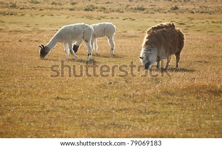 Patagonian lamas in Chile, South America