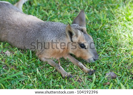 Patagonian mara lying on the green grass - stock photo