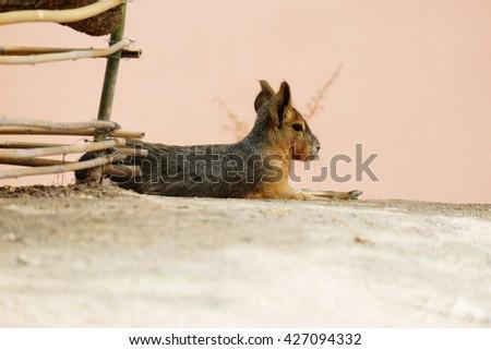 Patagonian mara, rodent animal (Rodent) - stock photo