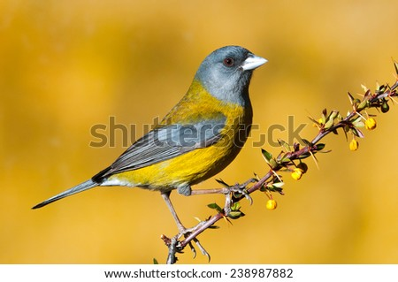Patagonian sierra finch (Phrygilus patagonicus) perched. Patagonia, Argentina, South America. - stock photo
