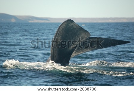 Patagonian Whale diving in South Atlantic
