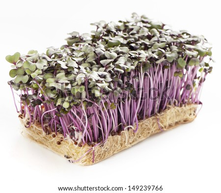 Patch of fresh growth purple garden cress isolated on a white background - stock photo