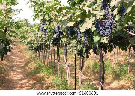 path in a blue grape vineyard, Sula Wines, India - stock photo