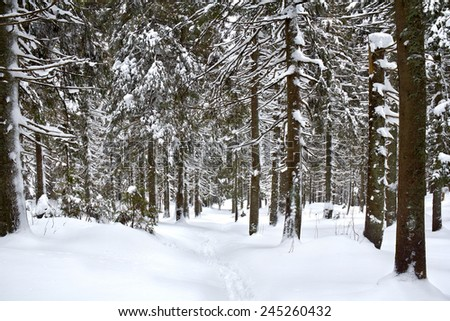 Path in winter fir-tree forest  - stock photo