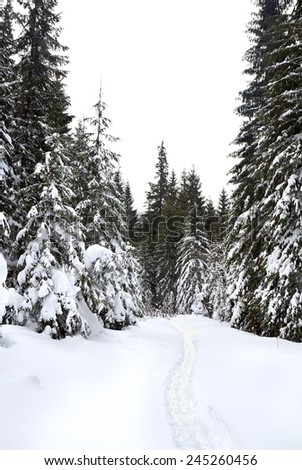 Path in winter fir-tree forest