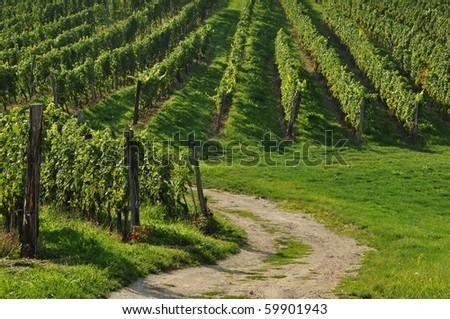 Path into vineyards - stock photo
