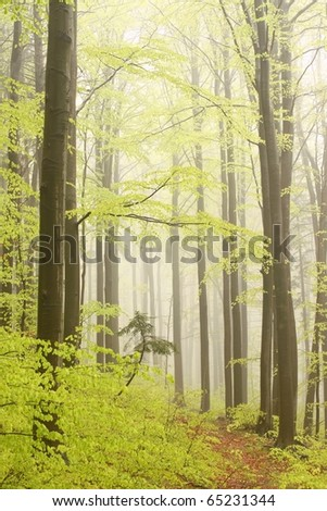 Path leading through the spring forest with beech trees surrounded by mist. - stock photo