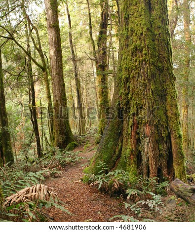 Path through a temperate rainforest, with ancient myrtle beech trees and ferns.  Victoria, Australia. - stock photo