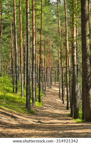 Path through pine trees in forest near Saint Petersburg, Russia - stock photo
