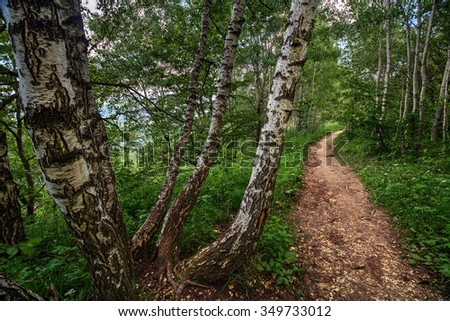 path in the birch - photo #39