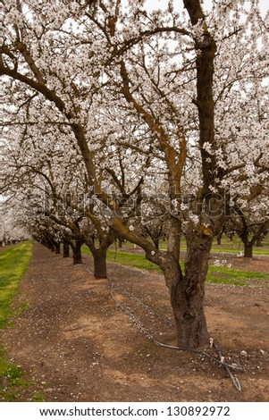 Pathway through blooming almond orchard