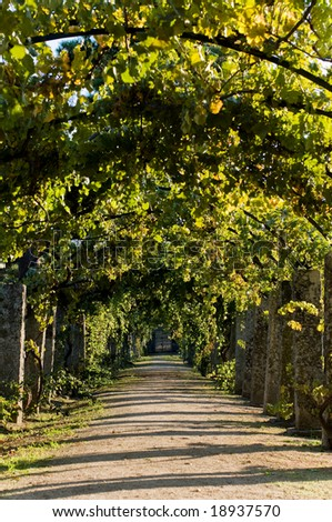 Pathway through grapevine in a pergola arch - stock photo