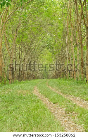 Pathway under green rubber tree - stock photo