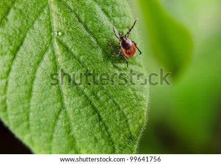 patient tick on leaf - stock photo