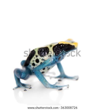 Patricia Dyeing Poison Dart Frog, Dendrobates tinctorius, isolated on white background. - stock photo