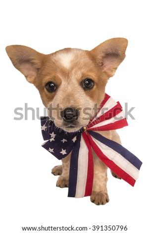 Patriotic Austrailan cattle dog puppy wearing red white and blue bow tie isolated on white background
