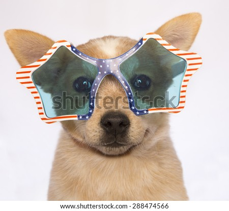 Patriotic Austrailan cattle dog puppy wearing red,white and blue glasses isolated on gray background