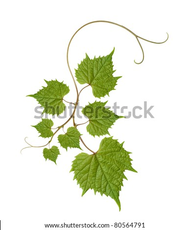 pattern of vine leaves - stock photo