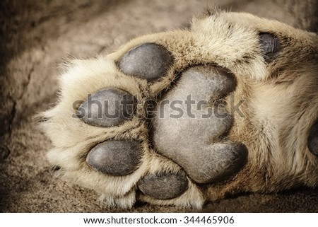 Paw of Lion Showing Pads - stock photo