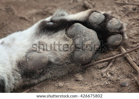 Paw of the Siberian tiger (Panthera tigris altaica), also known as the Amur tiger. Wild life animal.  - stock photo