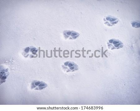 Paw prints in snow. - stock photo