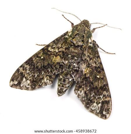 Pawpaw Sphinx moth (Dolba hyloeus) isolated on a white background - stock photo